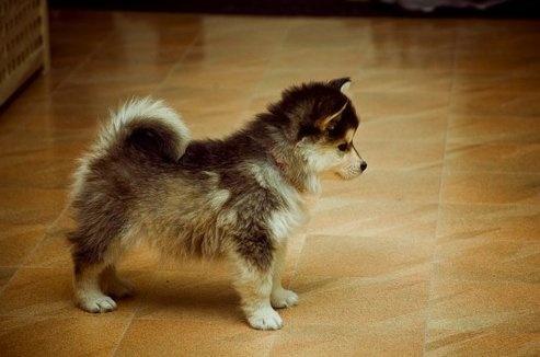 Pomsky OMG I WANT THAT DOG!!!!