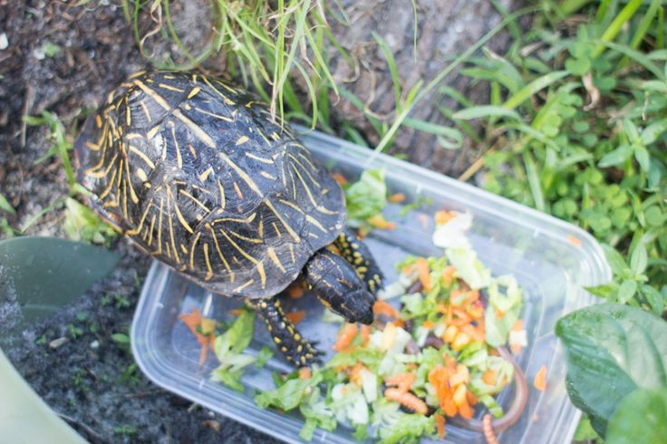 Aquatic Plants For Turtles To Eat : Turtle diet, Box turtles and Turtles on Pinterest