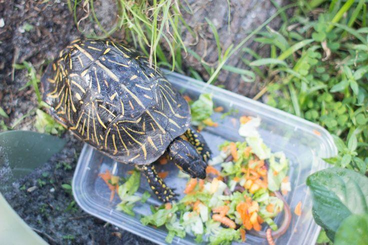 Turtle diet, Box turtles and Turtles on Pinterest