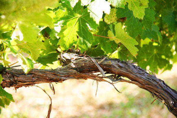 La Denominación de Origen Vinos de Uclés, referente de exitosa ecogestión ambiental en la agroindustria