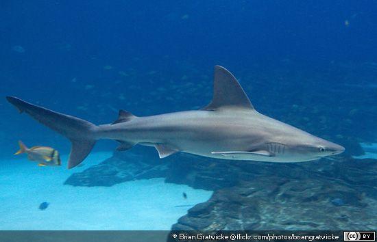 Carcharhinus plumbeus Sandbar Shark