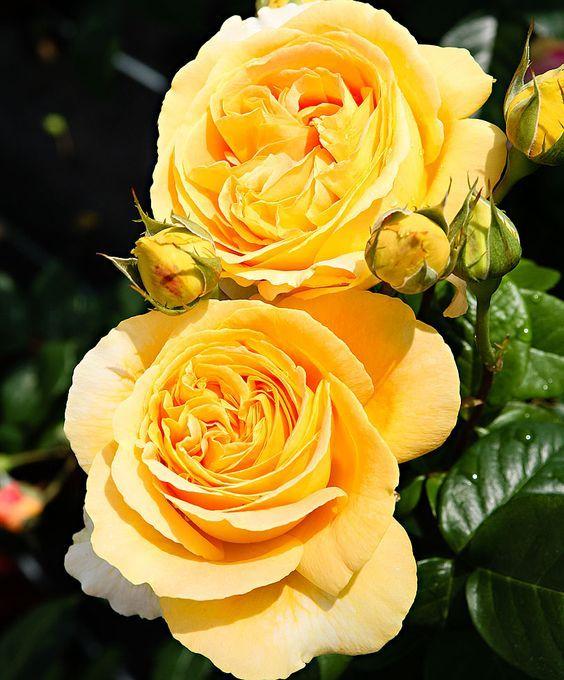 Candlelight ~ Hybrid Tea Rose