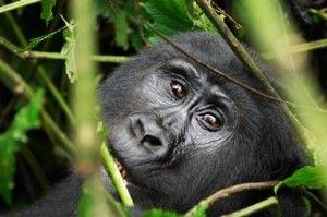 Gorilla trekking in Bwindi Inpenetrable Forest, Uganda