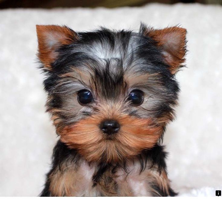 Want To Know More About Shih Tzu Just Click On The Link For More Info Viewing The Website Is Worth Yo With Images Teacup Yorkie Puppy Yorkie Puppy Yorkie Puppy For