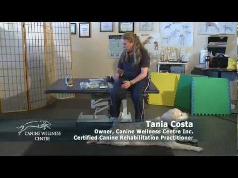 Overweight dogs have an 80% chance of developing osteoarthritis, cruciate ligament and orthopedic injuries, back issues, as well as a decreased life expectancy. Tania Costa, from Canine Wellness Center in Toronto, gives tips on how you can get your dog to lose weight, extend its life and stay healthy.