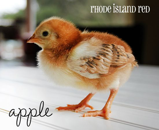 Rhode Island Red chicken - Her name is Apple.