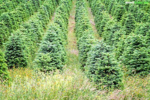 Baum ohne Reue - Tipps für den nachhaltigen Weihnachtsbaum