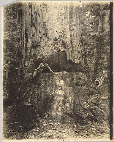 Felling a Cedar Tree, 30 Miles East of Seattle, 76 Feet in Circumference  Darius Reynold Kinsey American, 1906 Gelatin silver print 13 5/8 x 10 5/8 in.