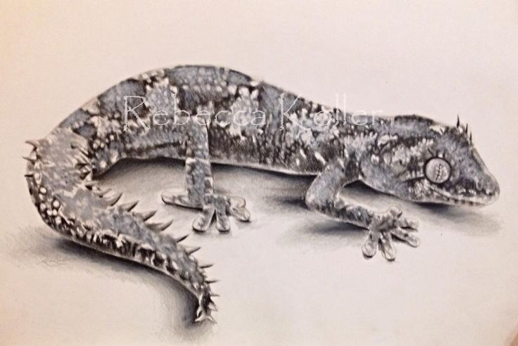 Spiny-tailed Gecko Graphite and coloured pencil on paper www.wildlifeartist.me