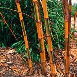 Bambou géant : Phyllostachys bambusoïdes  'Castillonis'