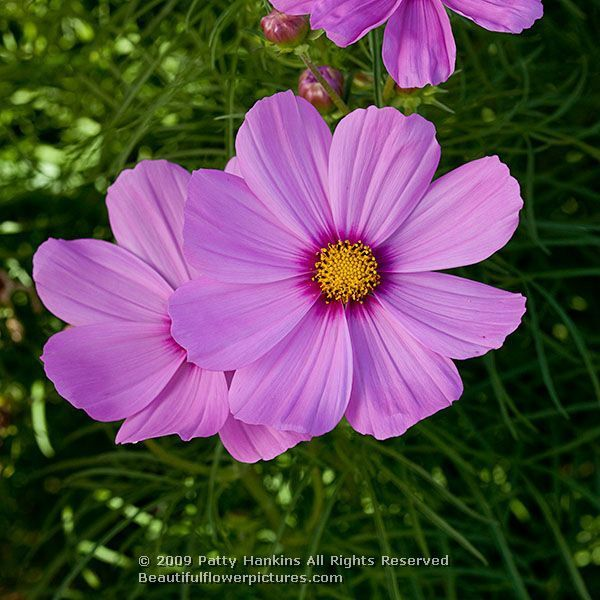 Cosmos flower pictures 25 pinterest cosmos flowers cosmos bipinnatus beautiful flower pictures blog floral photography voltagebd Gallery