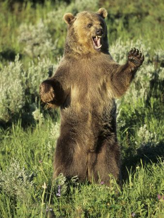 We saw a grizzly bear stand like this in Banff...we were in our car.