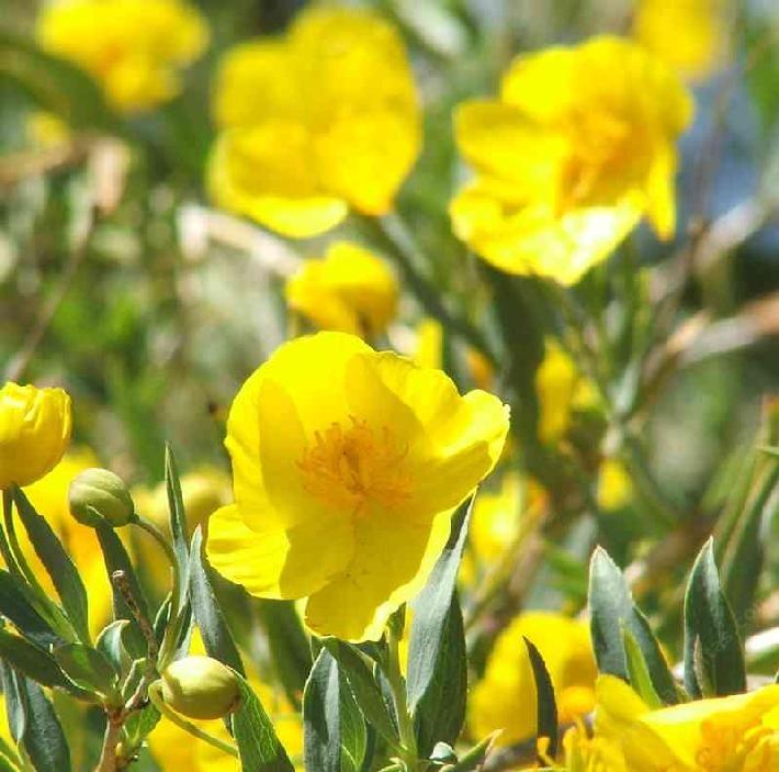 Catalina Island Bush Poppy Native California Garden