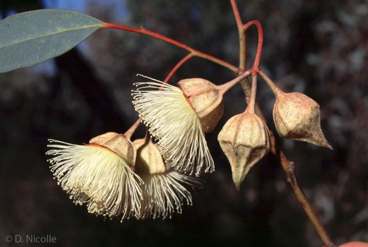 Eucalyptus kingsmillii subsp. kingsmillii (Kingsmill's mallee) flower buds and flowers. This subspecies is native to the drier, inland regio...