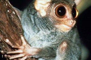 hewan langka di Indonesia tarsius