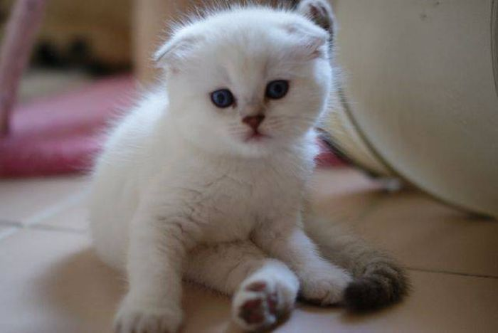 Cat - Scottish fold - Iquem Legend on www.yummypets.com