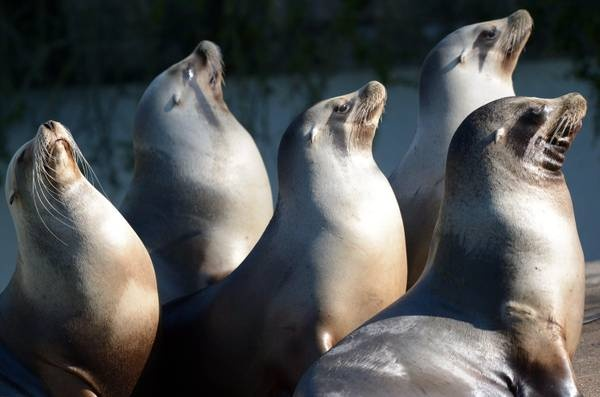 Sea lions. Leoni marini