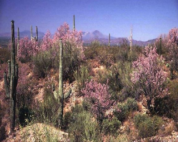 The desert ironwood tree creates a beautiful oasis across the harsh Sonoran Desert environment. The sheltered and fertile habitat found under each ironwood tree is crucial to the survival of hundreds of other plant and animal species. Given enough water, the desert ironwood tree remains evergreen all year long even in the extreme heat of another Sonoran Desert summer.