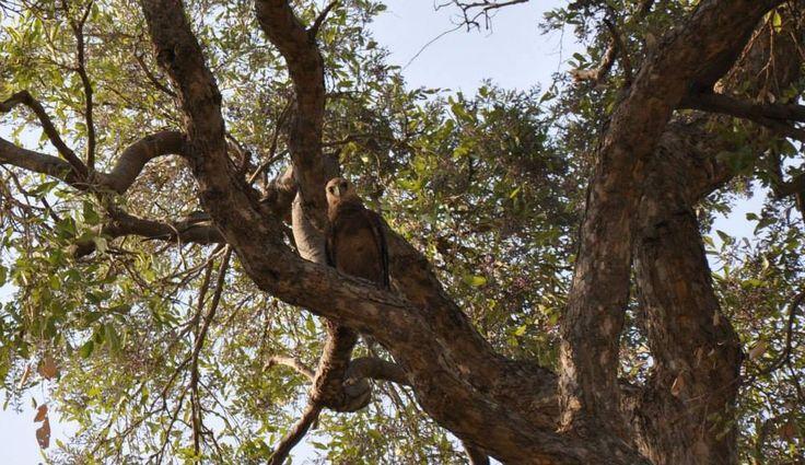 Batteleur Namibia