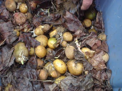 Sharing Gardens - new: Do I Need to Buy Seed Potatoes or Can I Just Grow Potatoes from the Grocery Store?
