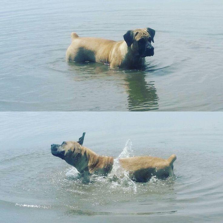 Jessie playing in the water. #mustlovedogs #funinthesun #dogs #boerboeljessie