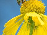 Look for Metallic Green Sweat Bees Visiting Your Garden This Fall (8 photos) - http://www.interiordesignnewideas.com/look-for-metallic-green-sweat-bees-visiting-your-garden-this-fall-8-photos.html