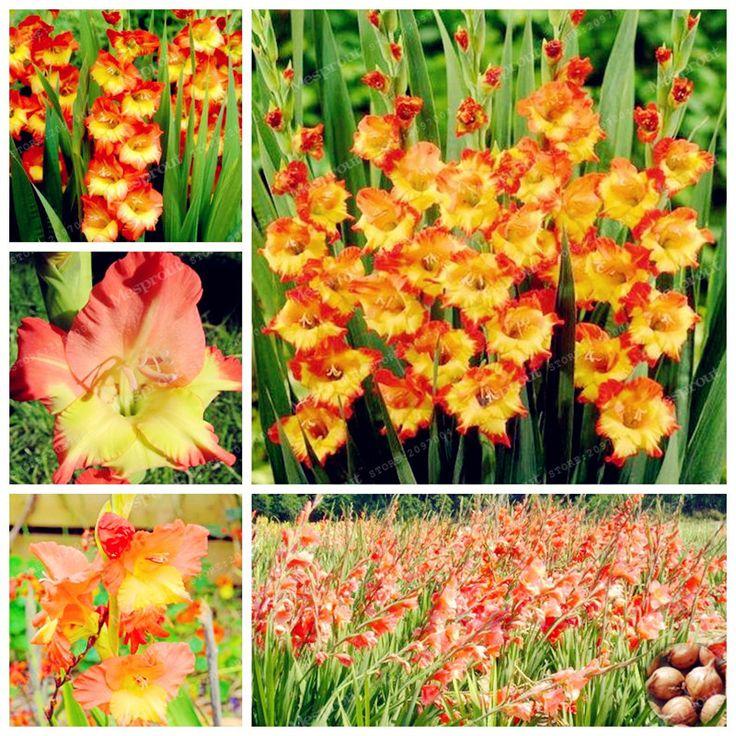 Rare Orange Gladiolus Bulbs DIY Aerobic Potted Plants Garden Symbolizes Longevity Not Gladiolus Seed 95% Germination-2 Bulbs