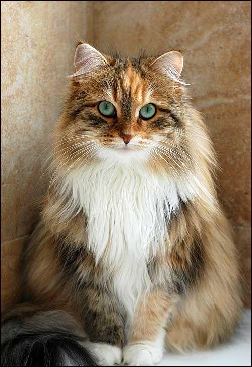 Y un gato Bosque de Noruega
