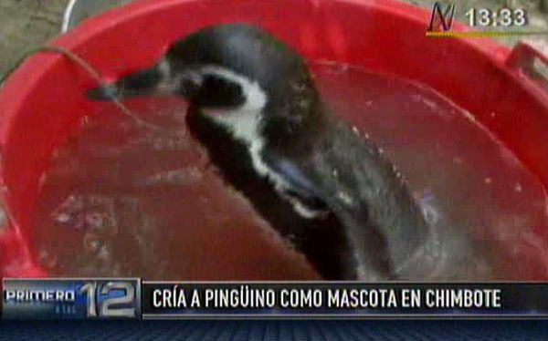 Chimbote: Familia cría desde hace 2 años a pingüino de Humboldt