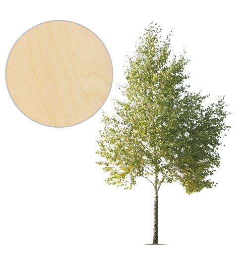 brzoza_drzewo
