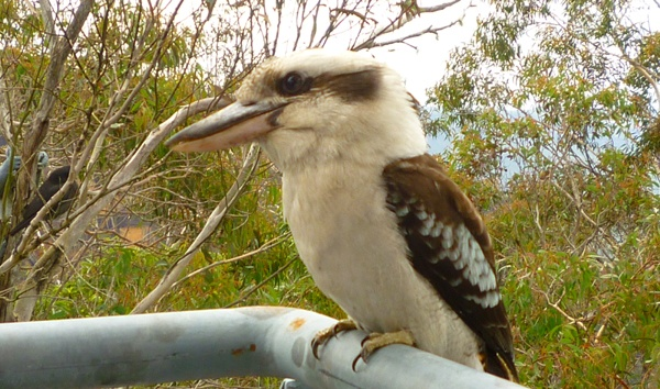 See Australian wildlife on a tour from Sydney. This Kookaburra was at Scenic World in the Blue Mountains http://toursfromsydney.com/