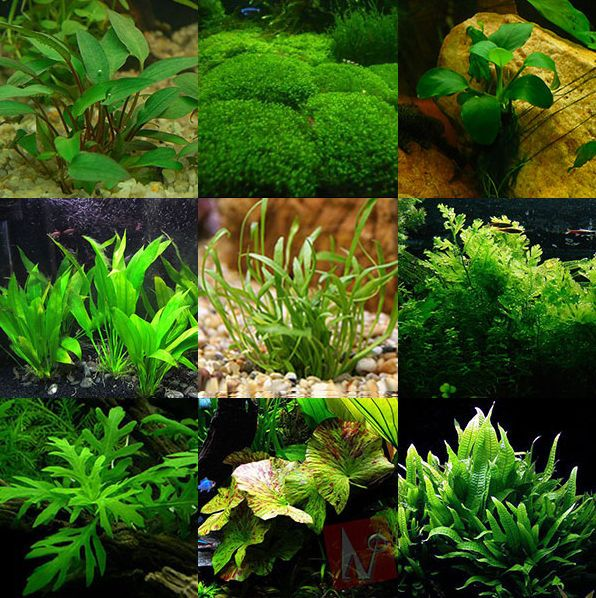 9 best 9 best freshwater aquarium plants for beginners for Low maintenance fish tank