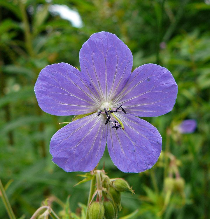Engstorkenebb - Geranium pratense - Naturfakta