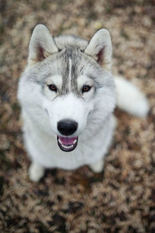 A happy husky!