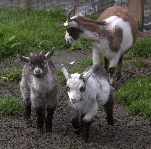 Pygmy Goat Family by Chrissie28IWish!, via Flickr I Want
