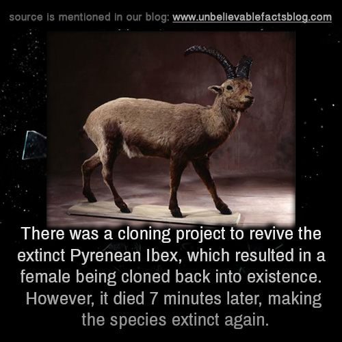 There was a cloning project to revive the extinct Pyrenean Ibex, which resulted in a female being cloned back into existence. However, it died 7 minutes later, making the species extinct again.