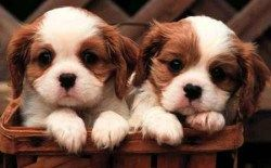 Puppies for Sale! #meaning #of #pet #bottles http://pet.remmont.com/puppies-for-sale-meaning-of-pet-bottles/  Puppies for Sale! Long Island chooses Selmers for purebred registered and designer breed puppies. We carry all of the most popular breeds such as Maltese, Yorkshire terrier, Cockapoo, Maltipoo, Cocker spaniel, and more. Our puppies are healthy, well cared for, and are always directly from legitimate breeders. Come to our puppy room in Huntington to find your perfect puppy companion…