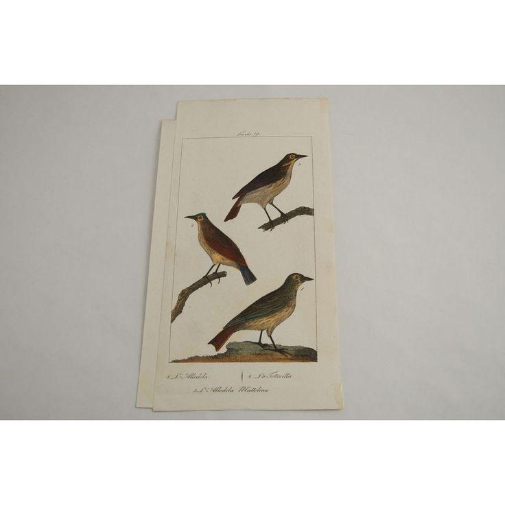 Gravure D'oiseaux Ancienne Colorée à La Main Tav. 59