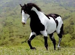 Resultado de imagem para cavalo appaloosa