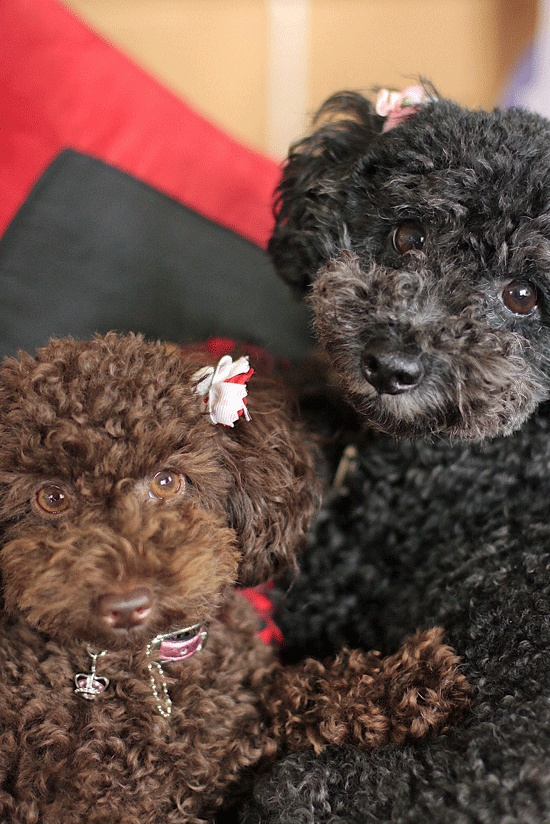 24 best images about brown poodles on Pinterest ...