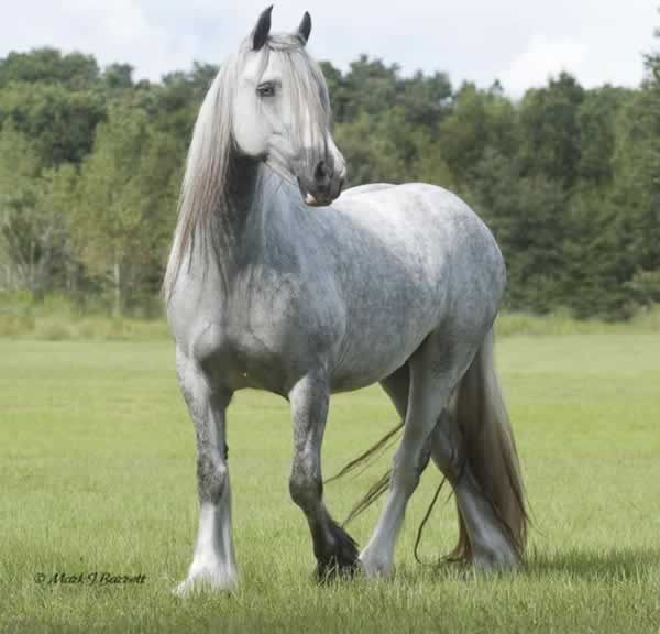 Another photo of Silver Lady, a large mare standing over 15hh and moves like a dancer.  Green broke with 60 days light training with a natural horseman. Registered with the Gypsy Vanner Horse Society #GV01489P.