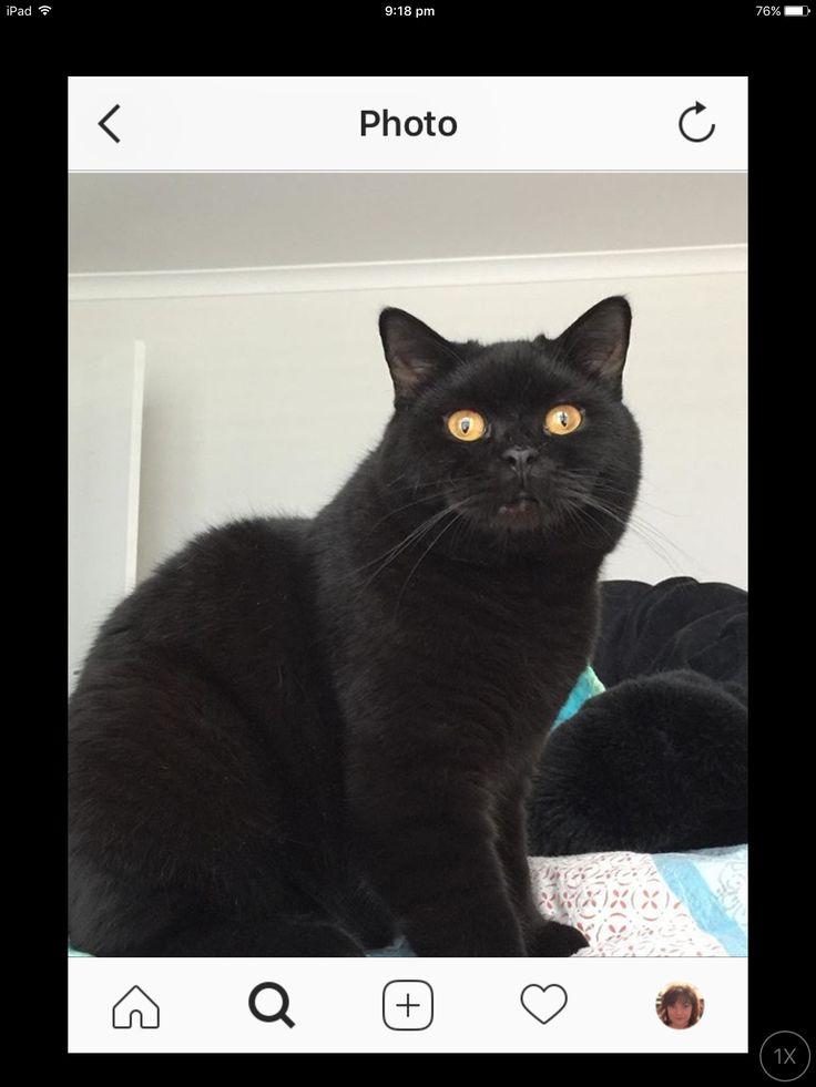 Black British shorthair Baxter @charlotte.and.baxter