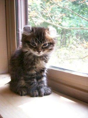 Highland lynx kitten - photo#15