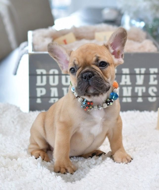 Handsome Boy Jax Please Visit Our Site For More Details Poeticfrenchbulldogs Com Tag You In 2020 French Bulldog Puppies Cute Funny Animals Cute Dogs