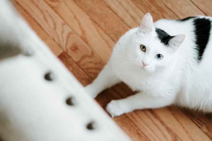 Munchkin-Katzen sind als Zwergkatzen bekannt. Diese Rassen lieben weiterhin Katzenfans …   – Cats Life