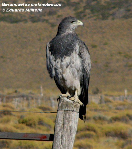 Aguila Mora o Escudada (Geranoaetus melanoleucus)