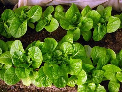 Succession Planting: Lettuce, Carrots, and More by Ira Wallace on Mother Earth News