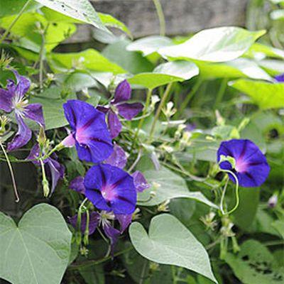 How Plants Climb, Climbing Plants, Trellises, Vines: Gardener's Supply
