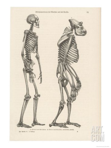 Human Skeleton Compared with That of a Gorilla Giclee Print at Art.com