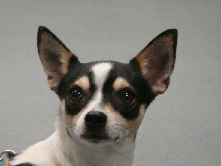 Small Dogs For Sale In Corpus Christi Tx